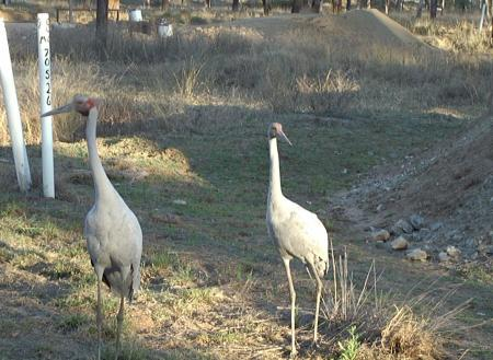 Early morning visit by flock of Brolga's.