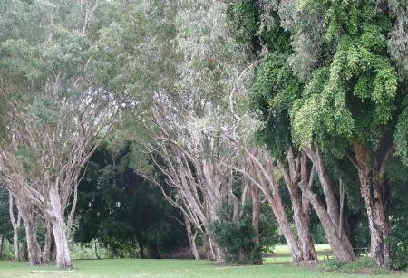 Paperbark Grove at the showgrounds.