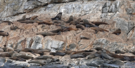 Australian Fur Seals. All Males. There were thousands of them.