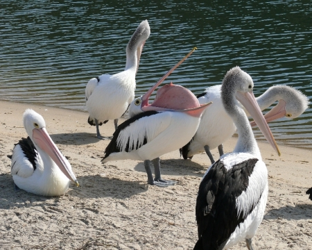 Pelicans at Lakes Entrance.