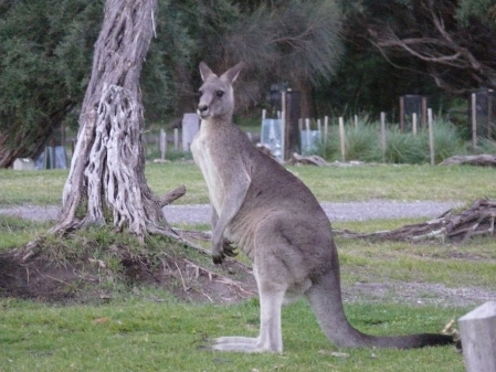 Eastern Grey Kangaroo.