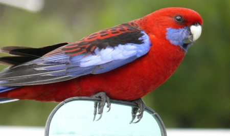 Crimson Rosella. A regular campsite visitor.