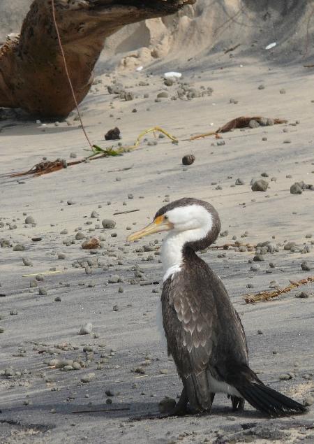 Injured Cormorant on Nudist Beach.