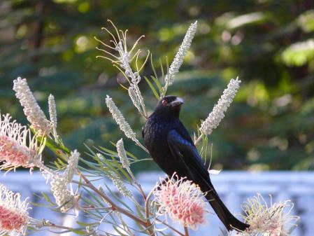 Spangled Drongo with pollen on his beak.