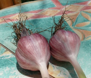 garlic is now stripped and ready for further drying so the stem is pliable and ready for the next step.