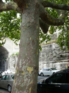 A huge Plane Tree growing through the footpath in the Argyle Cut west. The tree almost spans the entire road.