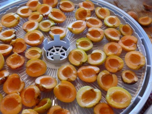 Apricots in the dehydrater. We created five trays this size from a small bucket of fruit.