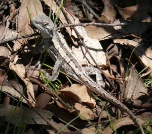 This little Nobbi Dragon skittered across my path as I walked to the viewing platform at Metz Gorge.