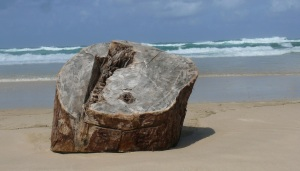 large stump found on Seven Mile Beach at a location known as The Ruins.