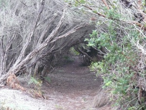 Pathway to beach is bounded by Banksia's which form a canopy.
