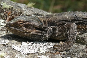 Closeup of Southern Forest Dragon.