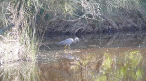 Blue Heron in creek beside PPB campsite.