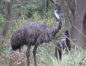 Father Emu with chick after we disturbed them in their mud wallow.