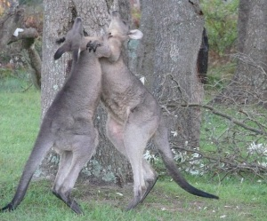 Early morning boxing Kangaroos at our PPB campsite.