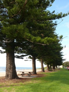 A row of Norfolk Island Pines are planted along the beach foreshore. These trees are a common feature along many of the beaches around Australia and were planted in the 1920's.