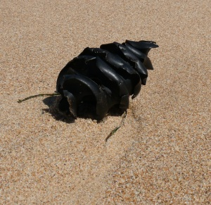 So far reserach has not revealed what this is? I often see them washed up on beaches. Can any reader tell me what it is?