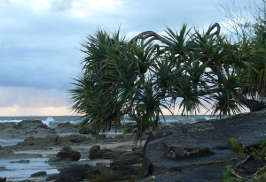 Early morning Woody Head and one of my favourite trees, the Pandanus.