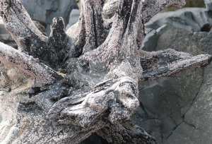 Way back in 2011 I started photographing driftwood with what appeared to be faces. At least to me. This one looks like an old Cockatoo bird.