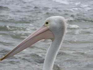 A young Pelican.