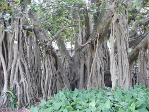 Banyan Fig in Brisbane City Botanical Gardens