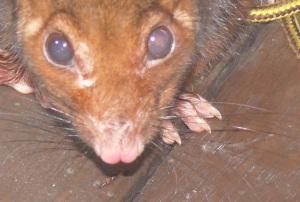 100613 possum1