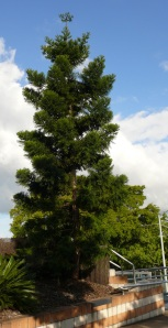 Juvenile Wollemi Pine.