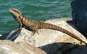 We are seeing more of these lizards lately. This one was found sunning itself on the rockwall of Cudgen Creek which empties into the sea at Kingscliff Beach.