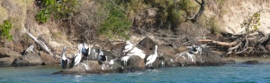 Pelicans at Cudgen Creek near Kingscliff NSW.
