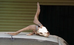 This goat skull is on one of the cars owned by a neighbour across the street. Significance of this will appear in part 2.
