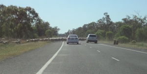 Sheep across the highway.