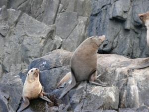 Australian Fur Seals ( Arctocephalus forsteri)