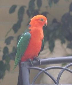 King Parrot (alistulus capularis)