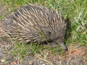 Spiny Ant Eater (echidna disambiguation)
