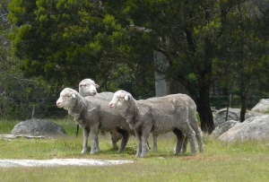 Sheep???Wildlife???
