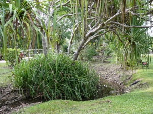 Old and young Pandanus growing along the meandering Watering Horse Creek which flows through the Flametree Village Tourist Park
