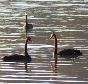 Black Swans and...
