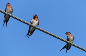I had trouble identifying these birds. At first I though they were Tree Martins but the tail tail feathers are too long. Then I thought they may be swifts nu again the tail and colouring was wrong. These are Welcome Swallows.
