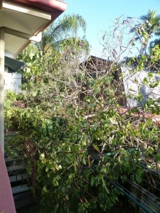 These trees fell from the neighbours yrad and blocked off the laundry door and covered our clothesline.
