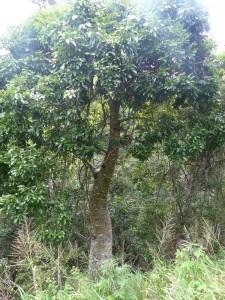 The endangered Whitsunday Bottle Tree.