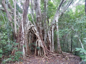Large root system of local fig tree.