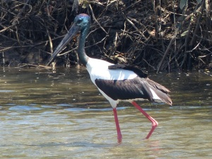 A black necked stork stalking lunch in the Don River at Bowen.