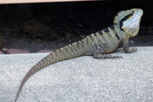 This frill necked lizard lives under the houses. It feeds on bugs and vermin and also the chicks of birds. Our neighbour called out to me me it was on our driveway. I was excited to see it and to take some photos. The neighbour is scared of it and wanted me to chase it away.