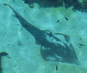 A Shovel Nose shark rests on the bottom of the shark pool.