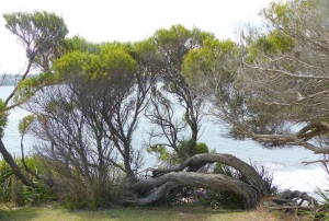 Tree over the Jibbon Point cliffs. Note how the roots have bent and twisted to conform to the prevailing winds.