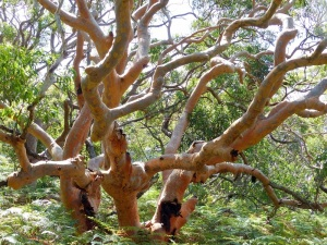 We walked along a narrow pathway to Jibbons Beach. These twisted gum trees we3rew a feature of the semi tropical rainforest. At one end of the park the groundcover was a thin straplike native river grass. At the other end near the beach the grass gave way to a thick fern groundcover.