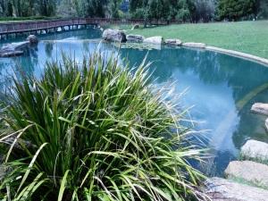 Lomandria Longiafolia overlooking blue pond.