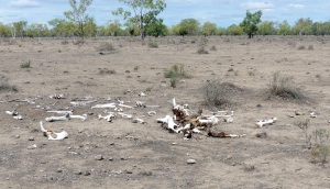 In this arid puddle covering many hectares there were a number of bleached bone bundles like this.