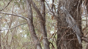 This Tawny Frogmouth is well camouflaged in the tree.