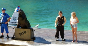 This well behaved Sea Lion is a big muscly guy.