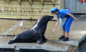 A Sea Lion is star of the show
